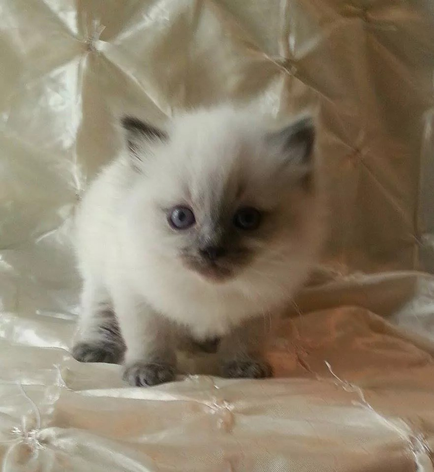 Available Ragdoll Kittens Rhode Island Ragdolls for sale